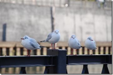 4羽ならんで
