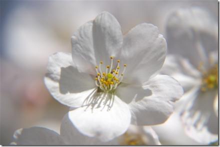 堀江公園の桜 クローズアップレンズ